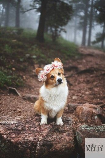 lovely-girl-corgi-dog