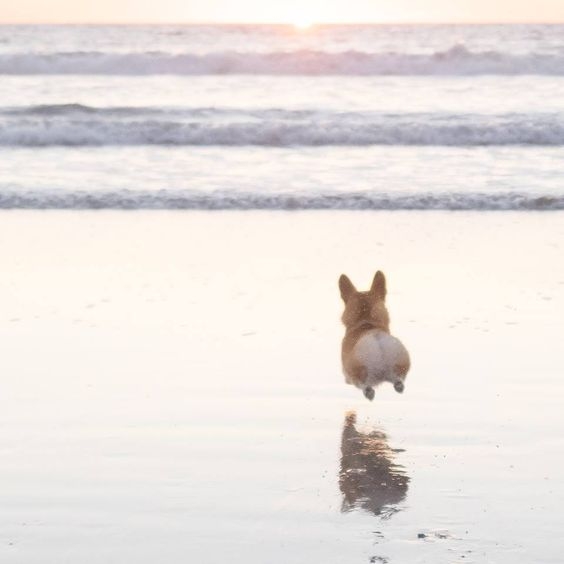 corgi-and-the-ocean-love-those-little-legs