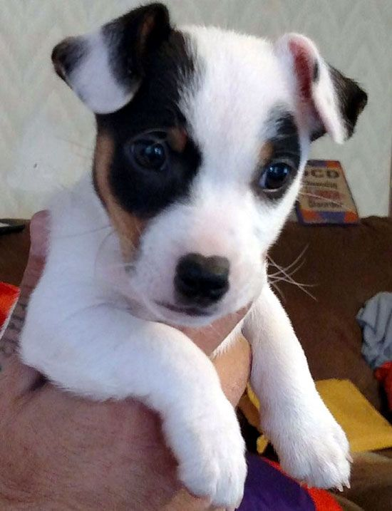 Jack Russell Terrier Dogs Photos You Will Love