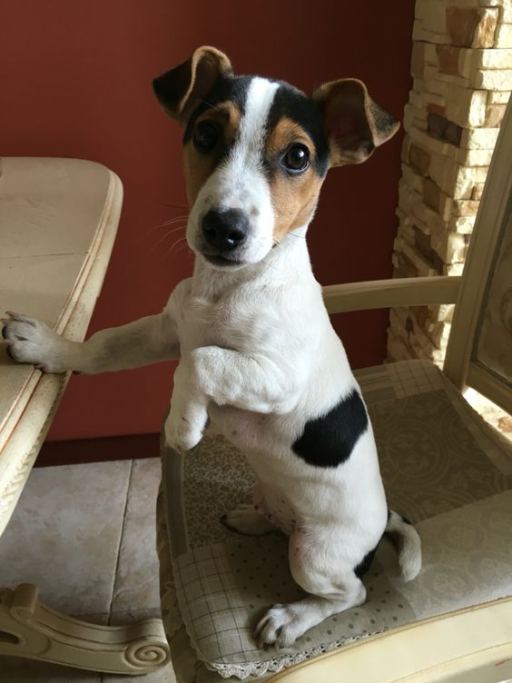 20 Jack Russell Terrier Dogs Photos You Will Love Fallinpets