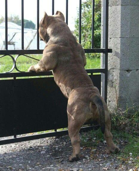 36 American Bully Dogs