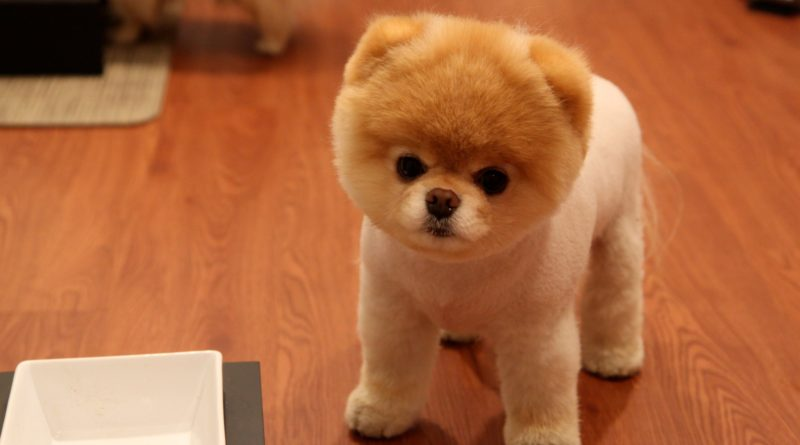 boo-the-dog-pics-the-cutest-and-most-famous-dog-in-the-world