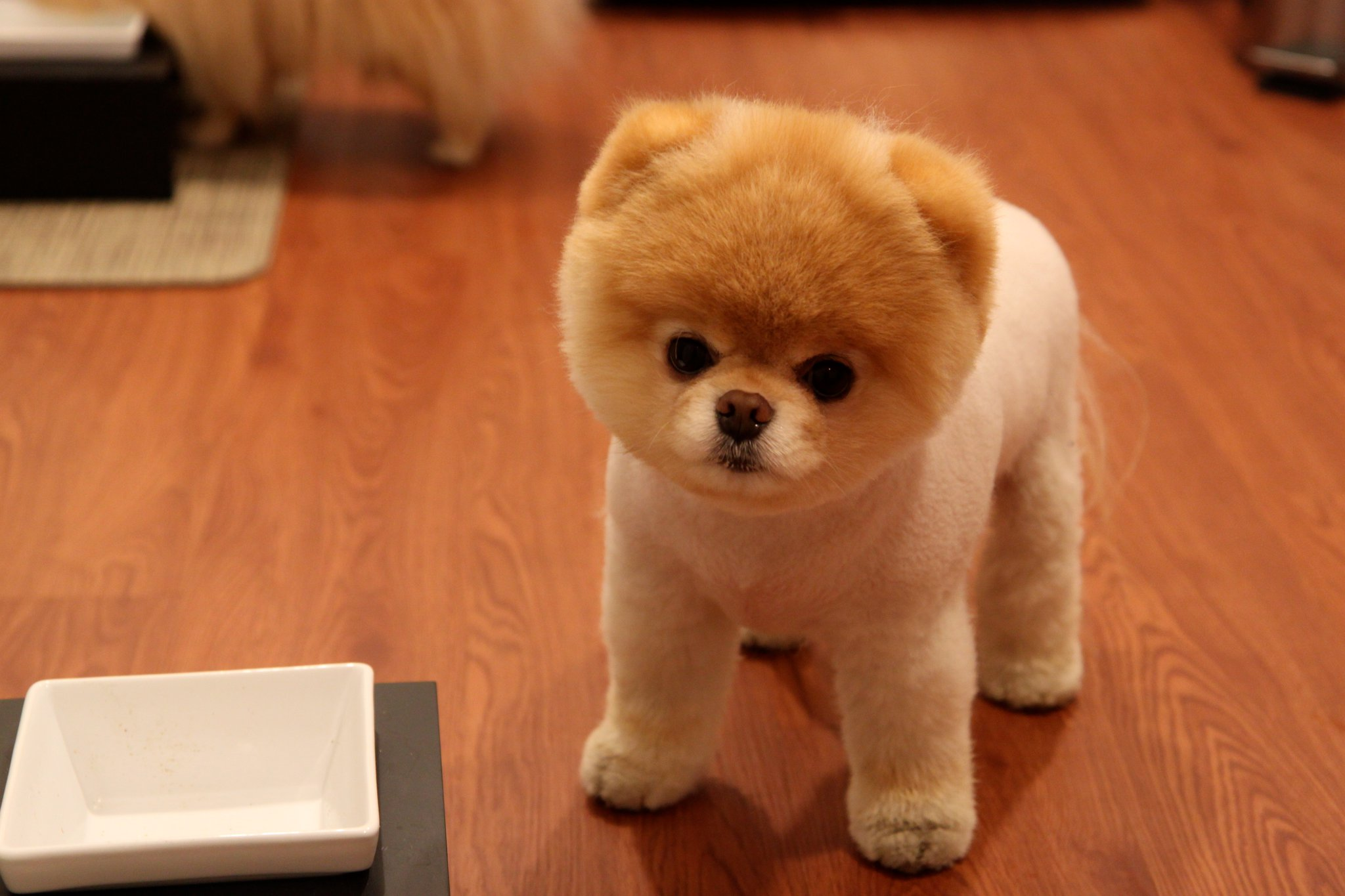 37 Boo The Dog Pics The Cutest And Most Famous Dog In The