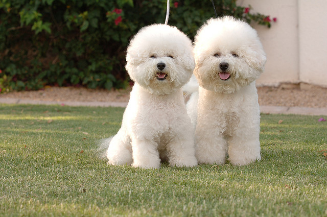 hypoallergenic-dog-breed-and-photo