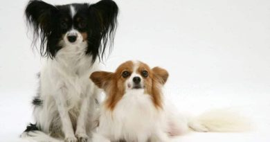 Papillon Dog Breed Information and 30 Cute Pictures