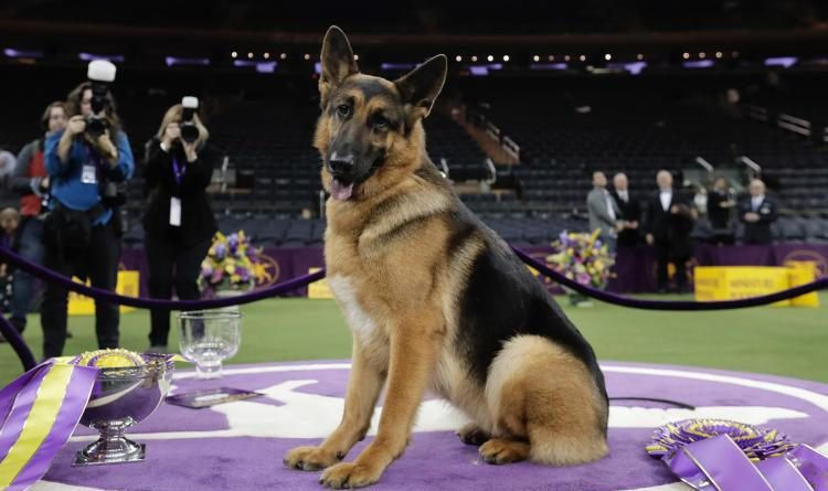 second-german-shepherd-to-win-westminster-dog-show