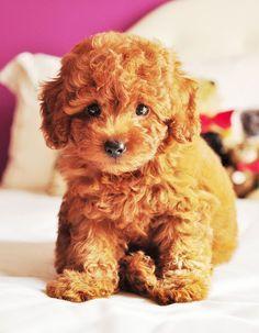 teddy-bear-dogs-on-pinterest