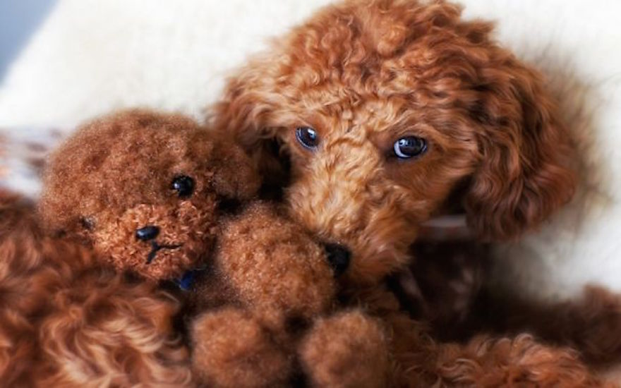 Dog Breed That Looks Like A Teddy Bear