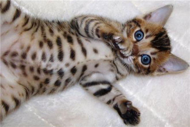 30 fabulous bengal cat photos that look like tigers - Chat type leopard ...