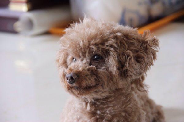 teddy-bear-dog-breeds-cavapoo-1570399561