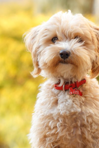 teddy-bear-dog-breeds-maltipoo-1570409269