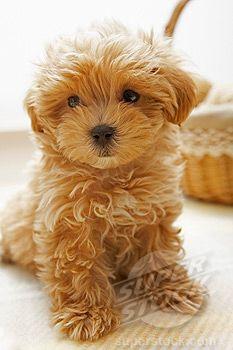 teddy-bear-dog