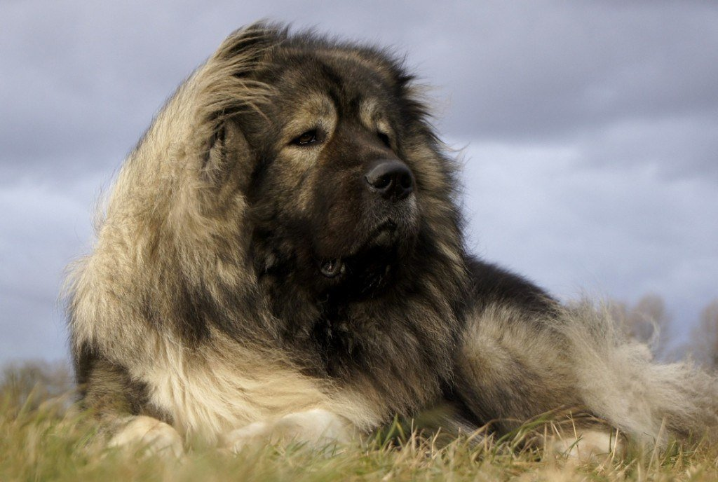 30+ Caucasian Mountain Dogs With Pictures. Do You Make ...