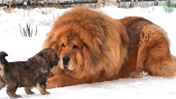 Expensive Dog Breed,Tibetan-Mastiff