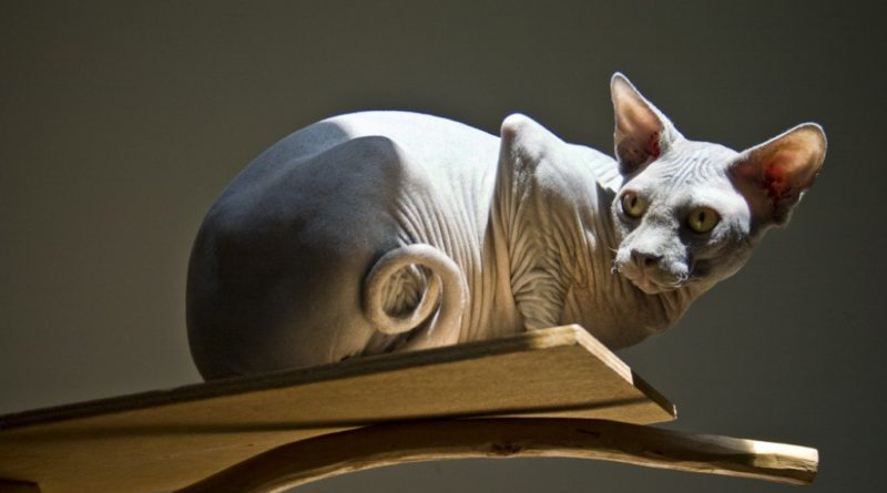 Sphynx Hairless Cat Breed