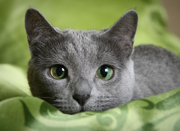 hypoallergenic-cat-breeds
