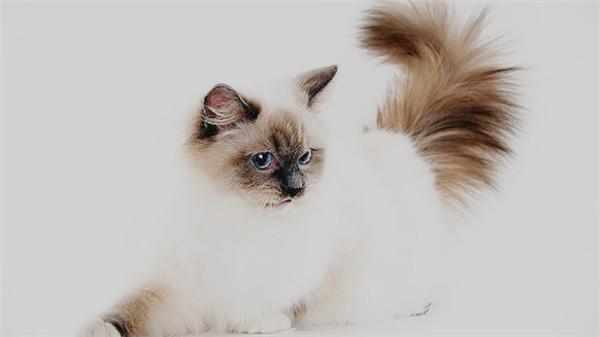 ragdoll-cat15