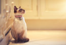 32 Popular Siamese Cat Photos That You Will Love