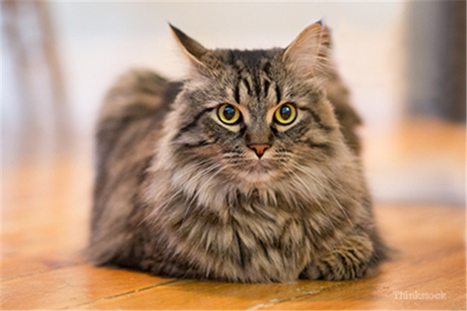 30+ Maine Coon Cats That Will Make Your Cat Look Tiny | FallinPets