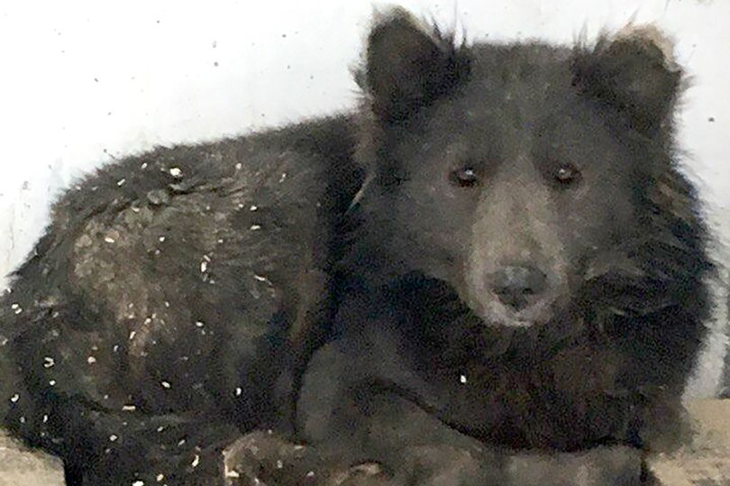bear-dog-found-abandoned-and-distressed-on-street-005