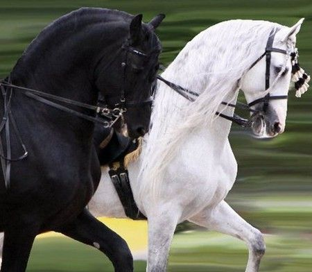 A Friesian Andalusian Horses makes a striking pair The little girl in me loves black and white beauties