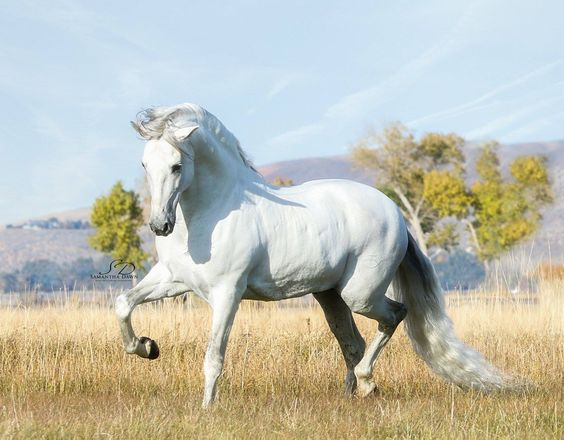 Andalusian Stallion(2)