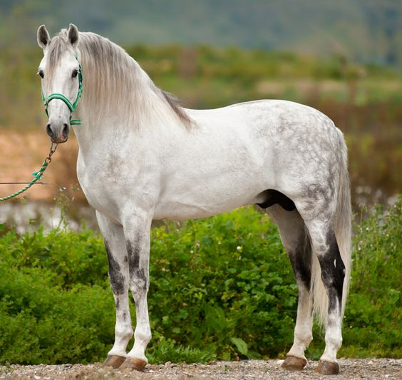 Andalusian horse- In recent times the name of the breed has been changed to PRE Pura Raza Espaola or Pure Spanish Breed. There is controversy because of that. horses