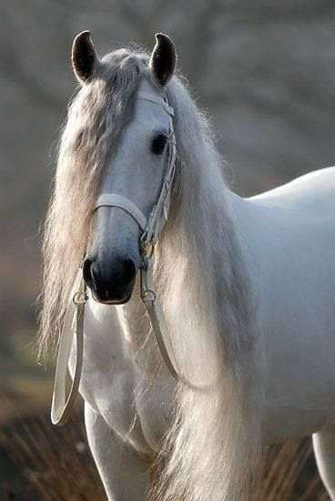 Andalusian horse More