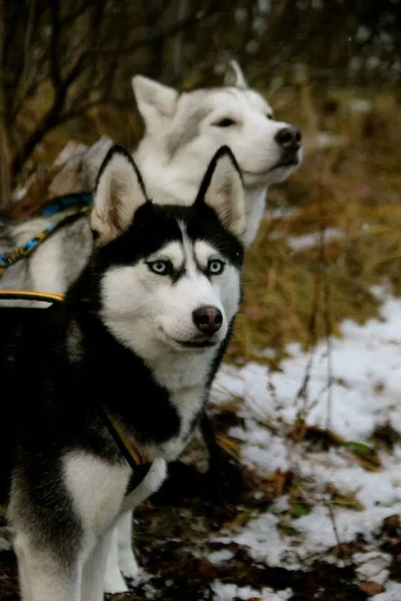 Black and white Siberian husky with blue eyes. Beautiful