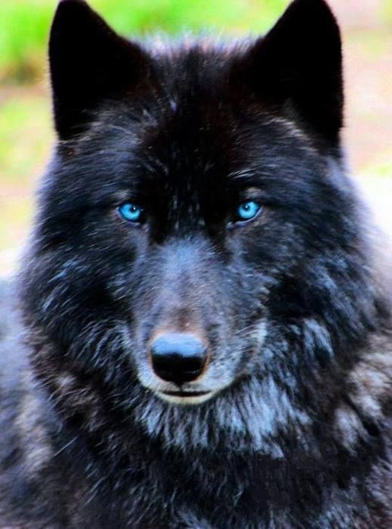 Black wolf with blue eyes - click on pic to see a full screen pic in a better looking black background