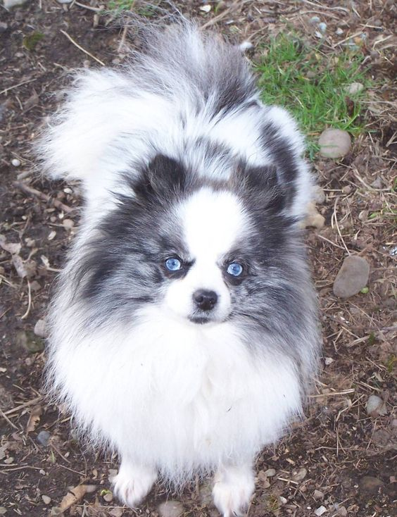 Blue Merle Pomeranian with beautiful blue eyes Pomeranian