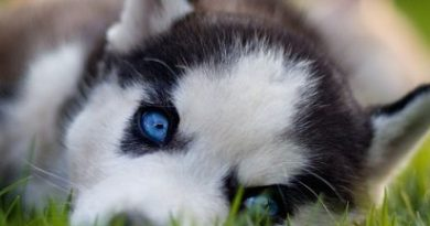 18 Cute Dog Puppies With Blue Eyes!