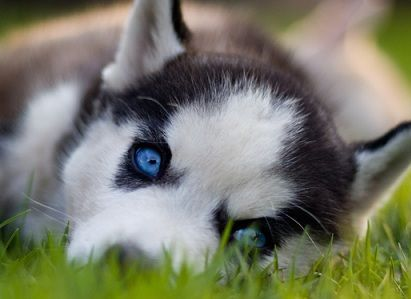 gorgeous-siberian-husky-puppy-with-bright-blue-eyes-laying-in-the-grass