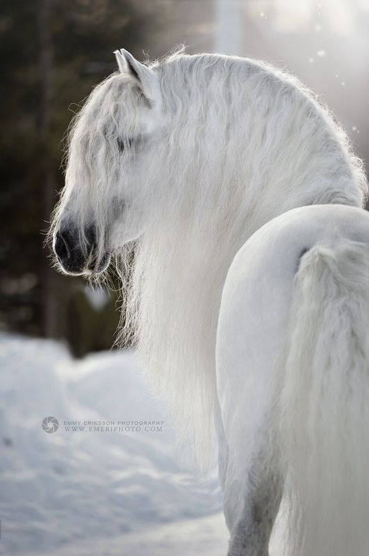 Gorgeous white horse with long whtte wavy mane in the snow. Magical horse photography Breathtaking beauty PRE photo by Emmy Eriksson