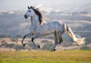 The Andalusian Horse Everything You Need to Know