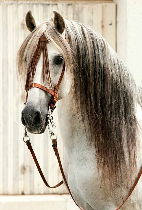 O my gosh what a beauty.... Pura Raza Espaola stallion Marismeno XLV portrait.