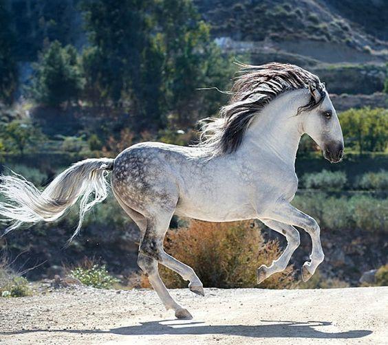 Pura Raza Espaola stallion Avatar II. Thats Baroque photo Alexia Khruscheva.