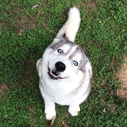 Siberian Husky with beautiful blue eyes siberianhusky