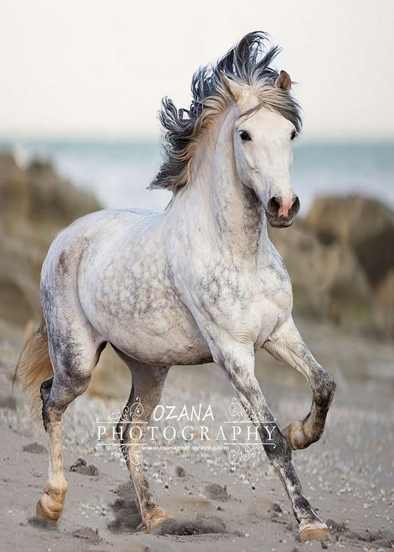 Tigre Andalusian gelding. Ozana Photography More