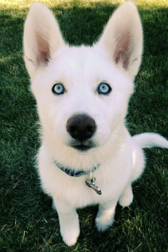 Zima the husky at 3 months old. Shes a diva.