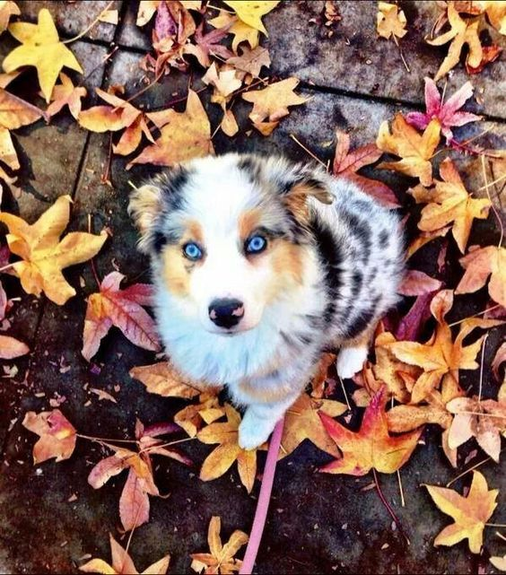 18 Cute Dog Puppies With Blue Eyes Fallinpets