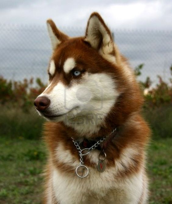 Red Husky With Blue Eyes