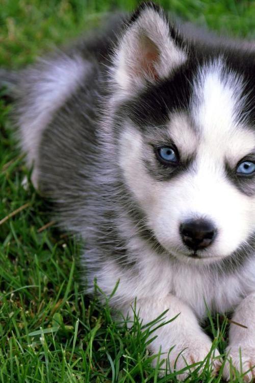 siberian husky..definitely want one with blue eyes