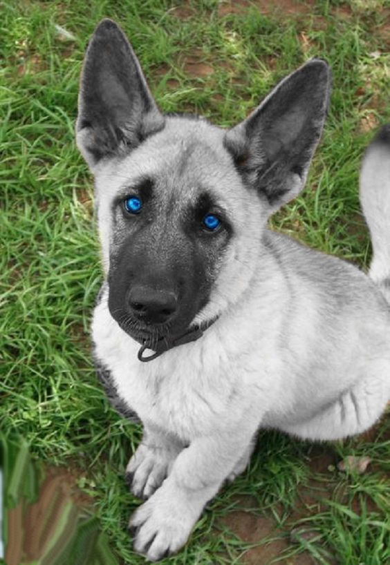 white german shepherd puppies with blue eyes for sale Zoe Fans Blog