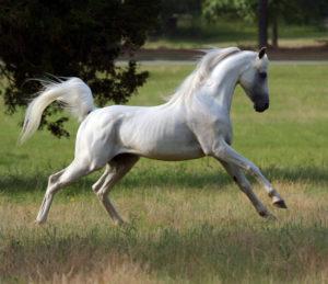 amazing-horses-photos-on-pinterestarabian