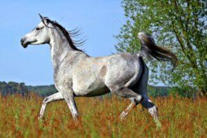 amazing-horses-photos-on-pinterestarabian-horse-breed-e1505771082336