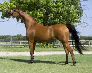 amazing-horses-photos-on-pinteresthalterstandingshotarabianone