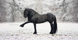 beautiful-black-friesian-what-a-pretty-shiny-black-coatmep_8814social