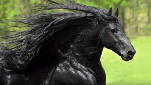 beautiful-black-friesian-what-a-pretty-shiny-black-coatmaxresdefault-1