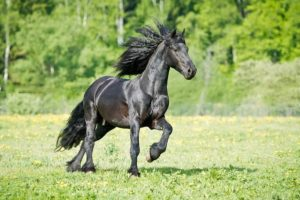 friesian-horse-temperament_grande